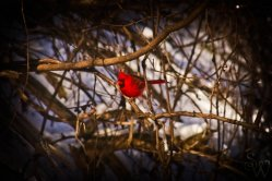 Cardinal in Hendrie Valley