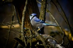 A Blue Jay In Hendrie Valley