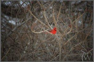 Cardinal in Sumac