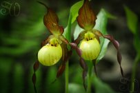 Yellow Lady Slippers