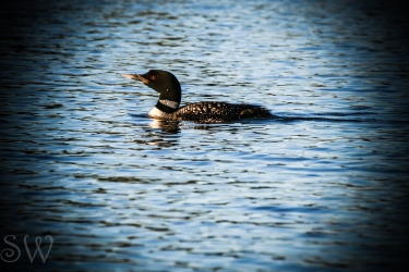 Lone Loon