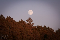 Moon Above Pines