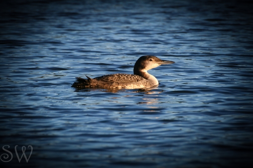 Female Loon