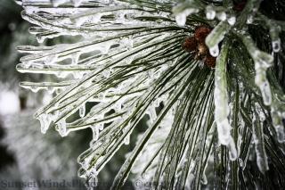 Iced Pine
