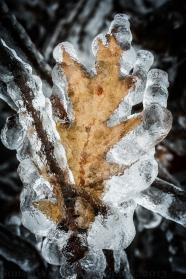 Iced oak
