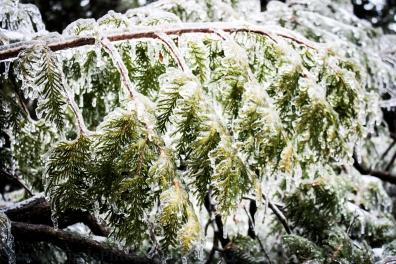 Frozen Cedars