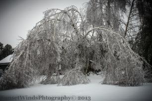 Wilting Birch