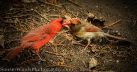 Cardinal wooing a female