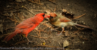 Cardinal wooing a female