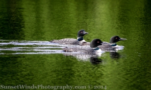 A Raft of Loons