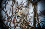 Winter Mockingbird
