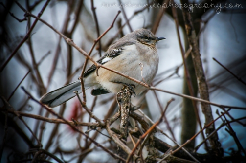 Winter Mockingbird