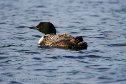 Lone Loon Pickerel River
