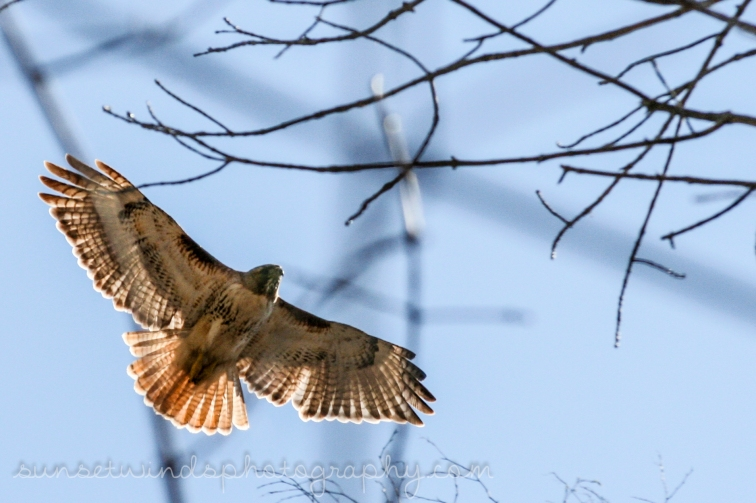 Spread Red Tail