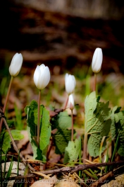 Clutch of Bloodroot