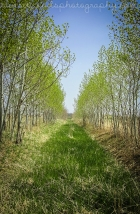 Lane of Trembling Aspen