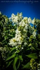 White Lilacs