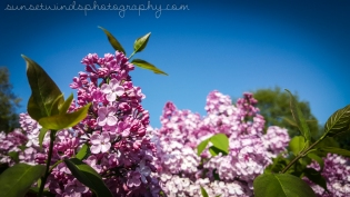 Blooming Lilacs
