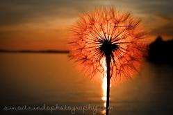 Dandelion Sun