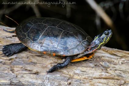 Turtle Sunbath